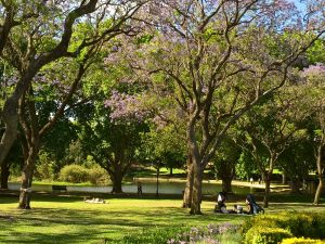 Jacarandas in flower in Hyde Park, Perth